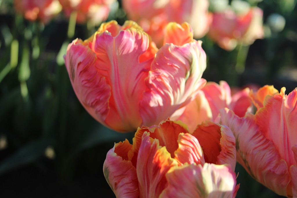 Tulips by Jodi Tripp_11