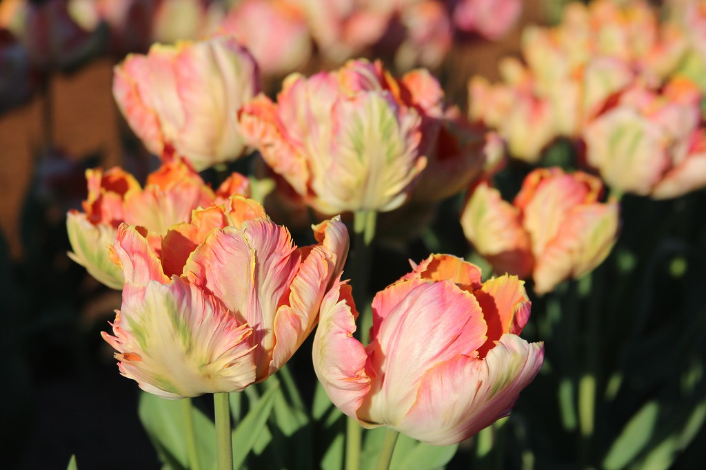 Tulips by Jodi Tripp_8