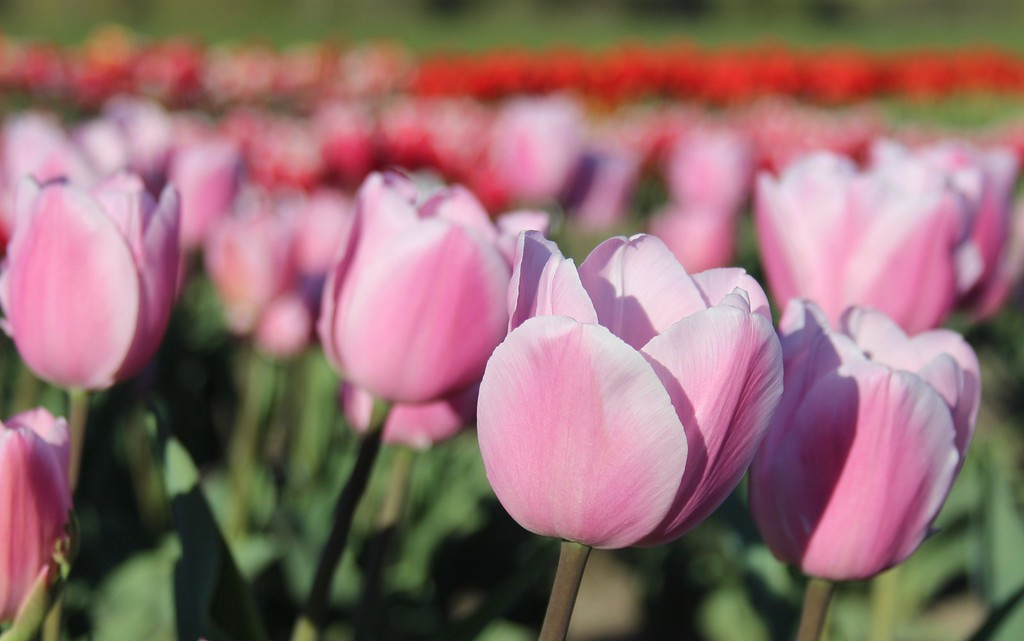Tulips by Jodi Tripp_38