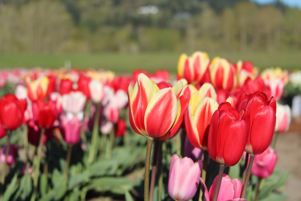 Tulips by Jodi Tripp_35