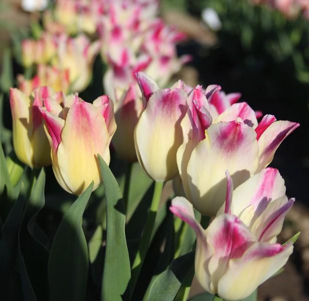 TulipsbyJodiTrippTulips by Jodi Tripp_32