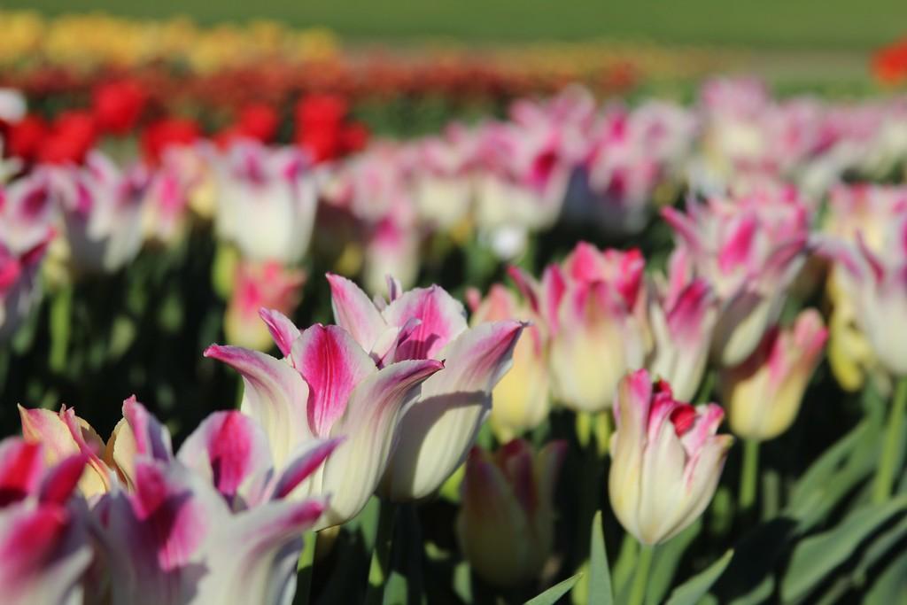 Tulips by Jodi Tripp_19