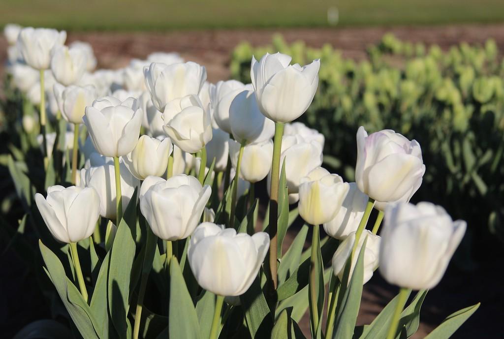 Tulips by Jodi Tripp_4