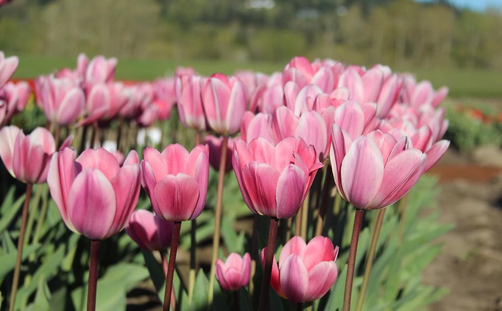 TulipsbyJodiTrippTulips by Jodi Tripp_33