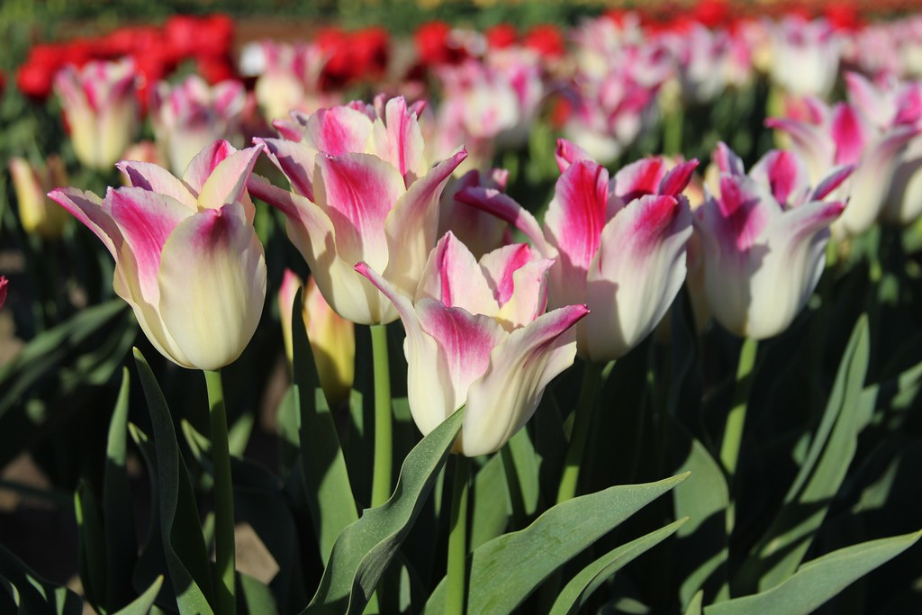 Tulips by Jodi Tripp_28