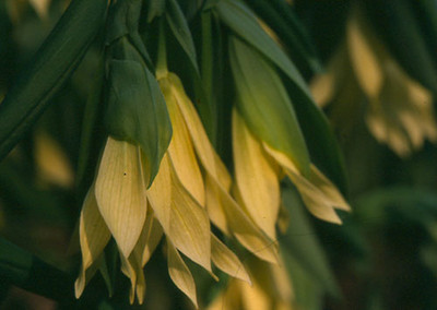 Uvularia grandiflora 'Pallida' close-up