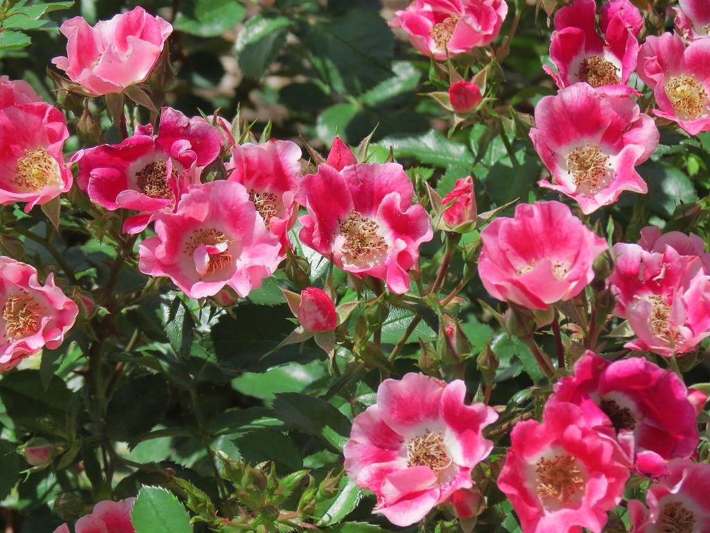 Unity Village Rose Garden