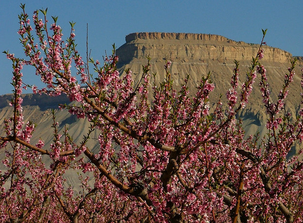 Peach blossoms frame Mt. Garfield in Palisade, Colorado