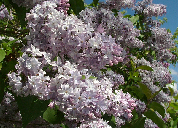 lilac in Cherry Hills, Colorado