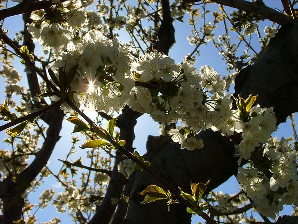 apple blossoms in Palisade, Colorado