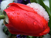 Tulip with Snow