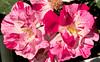War Memorial Rose Garden