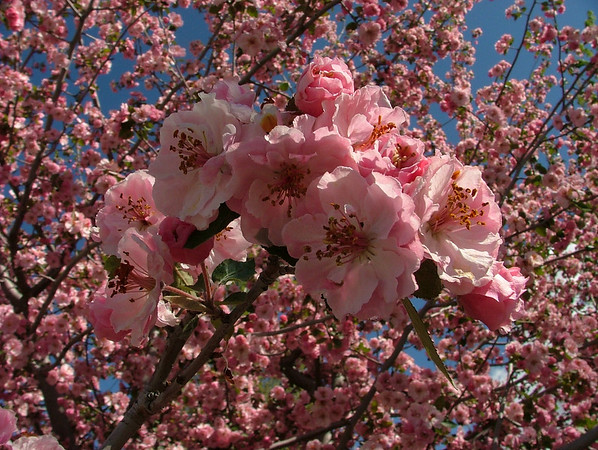 pink blossoms in Cherry Hills, Colorado