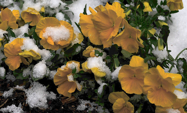 springtime in the rockies<br /> We're supposed to get another three to four inches today.<br /> But so far it's just rain.