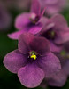 Inside, my African violets are oblivious to the weather.