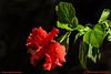 Cindy's-Flower