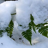 snow on fern