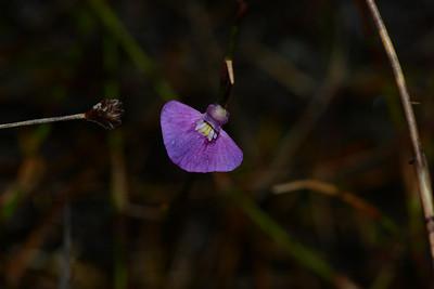 """Utricularia dichotoma"""
