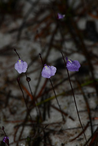"""Utricularia uliginosa"", Bladderwort. I have brought all the ""Utriculria sp."" together now in one group with some interesting information about this innocuous, pretty, but deadly carnivorous plant."