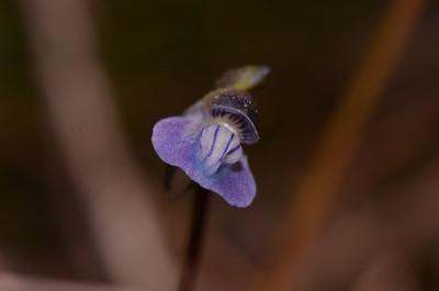 """""""Utricularia uliginosa"""""""