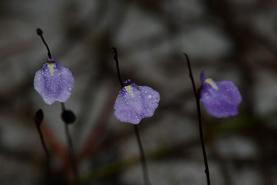 """Utricularia uliginosa""  The Three Tenors."