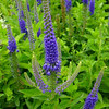 Veronica 'Sunny Border Blue'