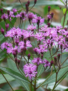 Vernonia angustifolia x missurica
