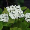 Valeriana alliariifolia 'Sirene'