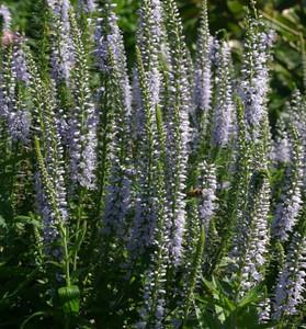 Veronica longifolia 'Zoë'