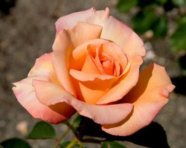 Van Wynden's Roses