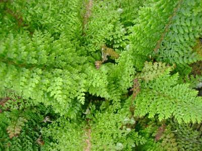 Polystichum setiferum 'Plumosomultilobum'