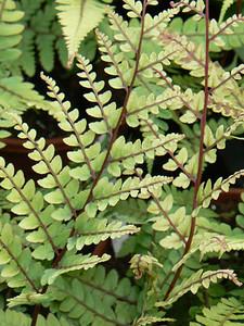 Athyrium otophorum 'Okanum' close-up