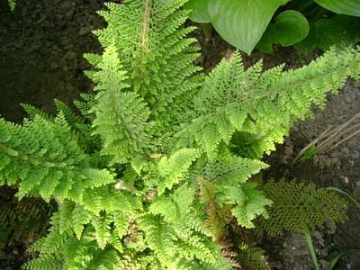 Polystichum 'Proliferum Plumosum Densum'