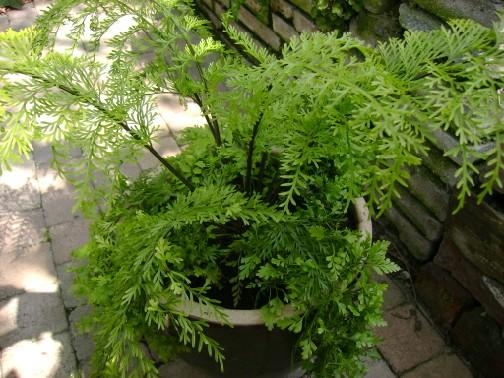 Asplenium bulbiferum plant