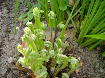 Asplenium scolopendrium 'Cristatum' ontluiken
