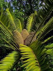 Encephalartos Lebomboensis Zamiaceae  North Shore of O'ahu, Hawai'i