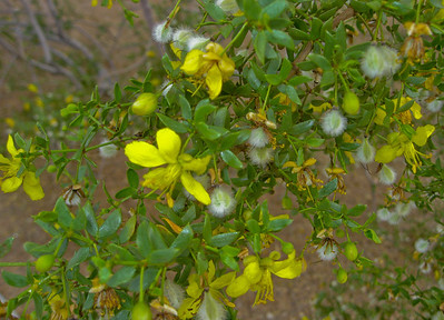 Acacia is a genus of shrubs and trees  belonging to the subfamily Mimosoideae  of the family Fabaceae North Shore of O'ahu, Hawai'i
