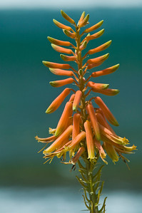 Aloe plant flower Aloe has orange or yellow flowers and is in the Agavaceae Family Aloe vera are used in alternative medicines and in home first aid to relieve skin discomforts by soothing minor burns, wounds, and various skin conditions.