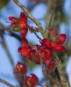 Mickey Mouse plant -Ochna thomasiana