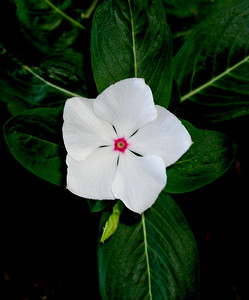 "Periwinkle  Catharanthus roseus is known as the Madagascar periwinkle      The plant has historically been used to treat a wide assortment of diseases. It was used as a folk remedy for diabetes in Europe for centuries. In India, juice from the leaves was used to treat wasp stings. In Hawaii, the plant was boiled to make a poultice to stop bleeding. In China, it was used as an astringent, diuretic and cough remedy. In Central and South America, it was used as a homemade cold remedy to ease lung congestion and inflammation and sore throats. Throughout the Caribbean, an extract from the flowers was used to make a solution to treat eye irritation and infections.      It also had a reputation as a magic plant; Europeans thought it could ward off evil spirits, and the French referred to it as ""violet of the sorcerers.""     Western researchers finally noticed the plant in the 1950's when they learned of a tea Jamaicans were drinking to treat diabetes. They discovered the plant contains a motherlode of useful alkaloids (70 in all at last count). Some, such as catharanthine, leurosine sulphate, lochnerine, tetrahydroalstonine, vindoline and vindolinine lower blood sugar levels (thus easing the symptoms of diabetes). Others lower blood pressure, others act as hemostatics (arrest bleeding) and two others, vincristine and vinblastine, have anticancer properties. Periwinkles also contain the alkaloids reserpine and serpentine, which are powerful tranquilizers.      Because the alkaloids in this plant can have serious side effects such as nausea and hair loss, it is not recommended that people attempt to medicate themselves with periwinkles."
