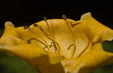 Golden Cup flower