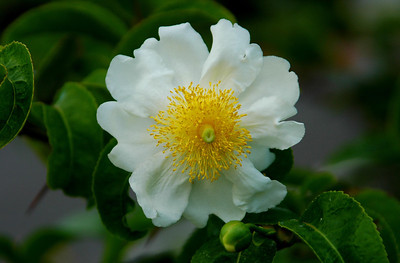 Camellia This white camellia grows in Queen Kapiolani's Garden in Honolulu. Camellia sinensis come in many colors and beautiful varieties.
