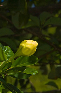 Golden Cup flower bud on the tree