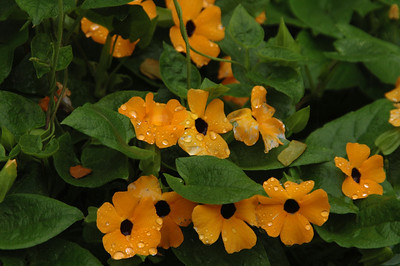Thunbergia alata, Acanthaceae Family