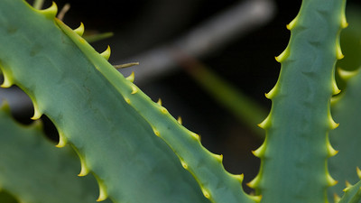Aloe plant Aloe has orange or yellow flowers and is in the Agavaceae Family Aloe vera are used in alternative medicines and in home first aid to relieve skin discomforts by soothing minor burns, wounds, and various skin conditions.