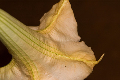 Angel's Trumpet is very fragrant   Datura aborea or Brugmansia suaveolens