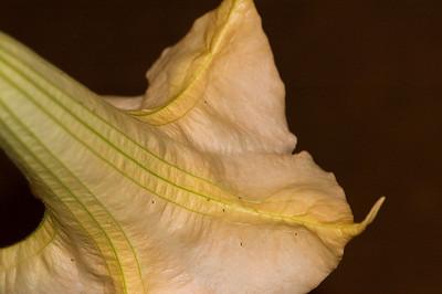 Angel's Trumpet is very fragrant   Datura aborea or Brugmansia suaveolens