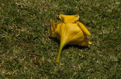 Golden Cup flower on the grass