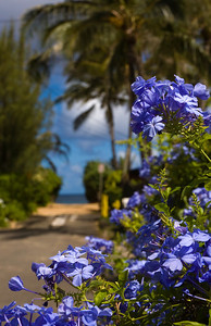 Plumbago flowers near the beach