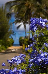 Plumbago flowers near the beach